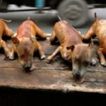Imagens de cães assados vendidos em barracas de rua do Vietnã chocam turistas